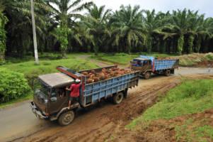 To lastebiler fullastet med palmeoljefrukt.