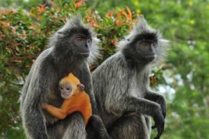 Tre aper sitter sammen; to voksne med grålig, mørk pels og en liten unge med oransj pels.