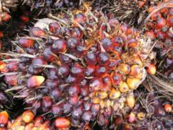 Oljepalmefrukt
