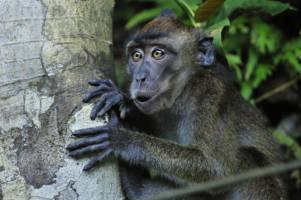 En ape titter fran fra bak et tre med åpen munn og et overrasket uttrykk.