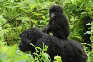 To gorillaer, mor med unge, i tett regnskog.