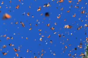 Blå himmel der det vrimler av oransje monarksommerfugler.
