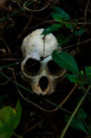 Skull from isolated tribes