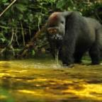 Gorilla som drikker fra elv
