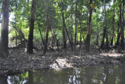 Oljesøl på stammen til regnskogstrær