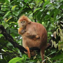 En ape sitter på en gren med barnet sitt i armene