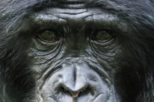 Et nært portrett av en gorilla som kikker rett inn i kamera.