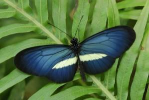 En blå og hvit sommerfugl sitter på et blad.