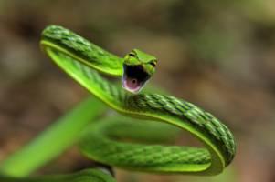 En tynn, grønn slange angriper kameraet.