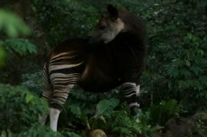 Det giraffliknende dyret okapi fra DR Kongo står i skyggen under et tre.