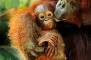 Nærbilde av en orangutangunge som får et nuss av mora.