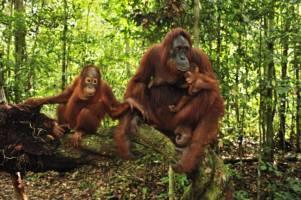 Tre orangutanger sitter på en trestamme i regnskogen.