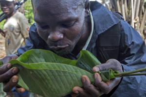 En mann i Kongo drikker vann fra et stort grønt blad.