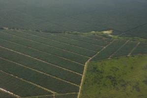 Flyfoto av store palmeoljeplantasjer. Skillet mellom rekkene med oljepalmer står i kontrast til den naturlige skogen ved siden av.