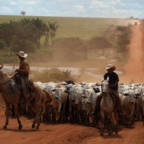 Cattle in field in Brazil