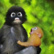 To aper, mor og unge. Apeungen gaper og hyler, mora ser vekk.