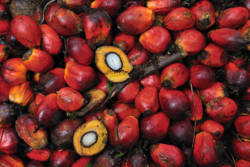 Klaser med rød palmeoljefrukt