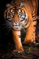 Illustrasjonsbilde av en tiger