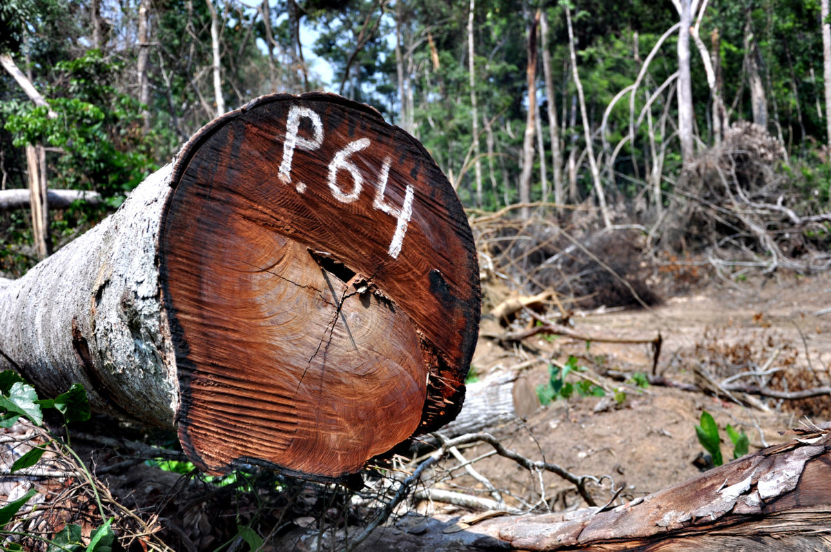 Tverrsnitt av et tre som er hogget ned i regnskogen.